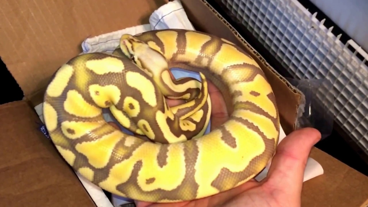 Ball Python Unboxing Desert Ghost Project Youtube