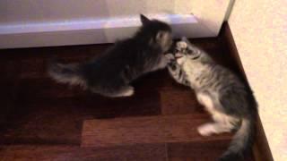 Коротколапые котята (манчкин). Отработка боевых приемов.