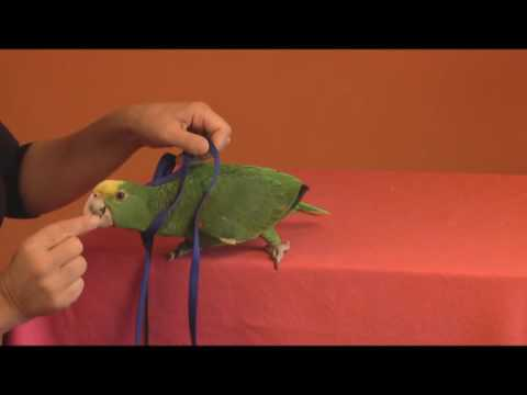 Tips To Harness Train A Parrot