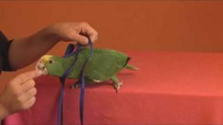 Tips To Harness Train A Parrot - Goodbirdinc.com