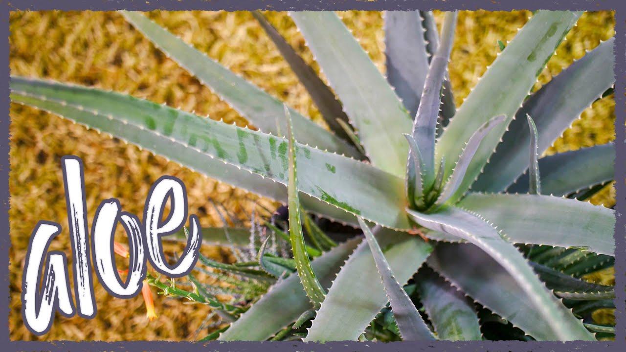 Aloe In Giardino repotting huge indoor aloe vera