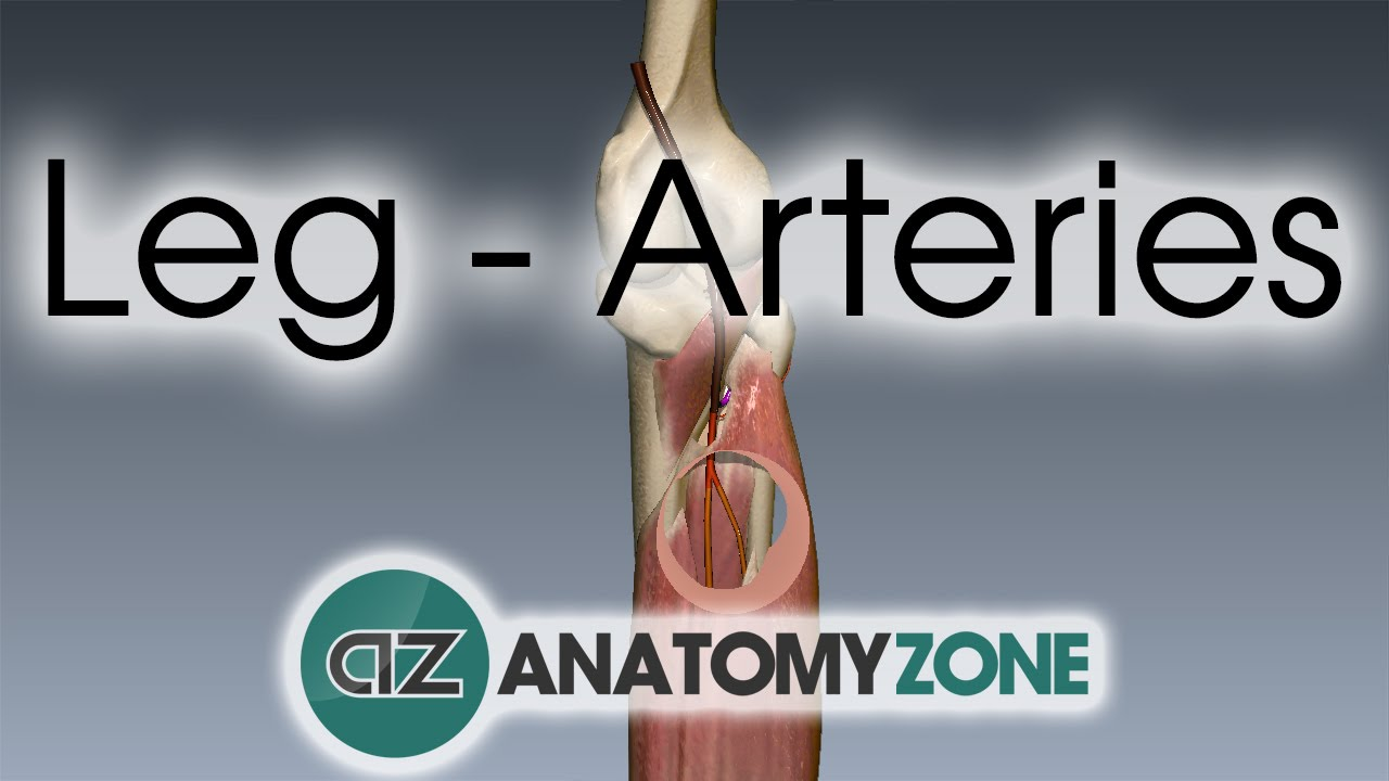 Leg Arteries - 3D Anatomy Tutorial - YouTube