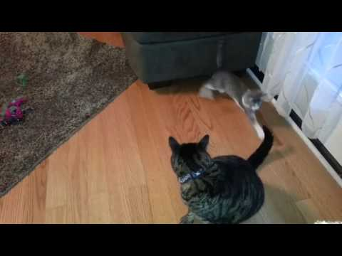 Cats Fighting -- Funner 18