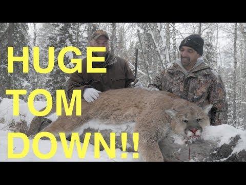 [GRAPHIC] Hunting An Alberta Tom Cougar
