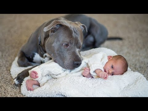 Pit Bull Protects Baby Compilation NEW