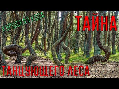 Вопрос: Откуда пошло выражение Пьяный лес Причины возникновения явления?