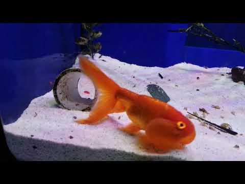 Bubble Eye Goldfish Imported From China