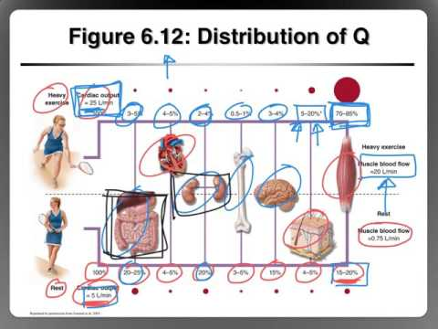 Distribution of Blood Flow