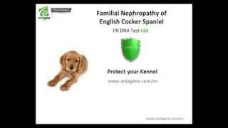 Prevention Of Familial Nefropathy Of The English Cocker Spaniel - Inherited Disease - Antagene