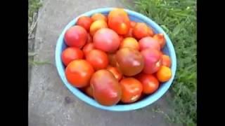 Мои  сорта помидор