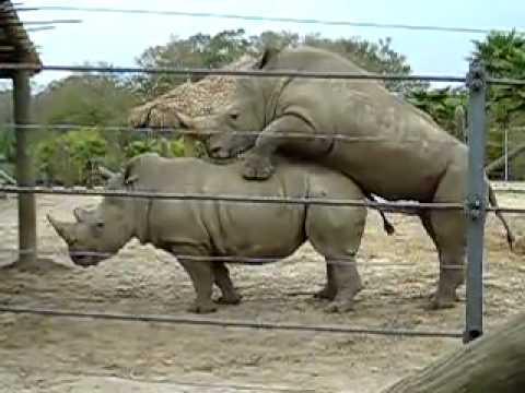 Hoạt động giao phối ở Tê giác