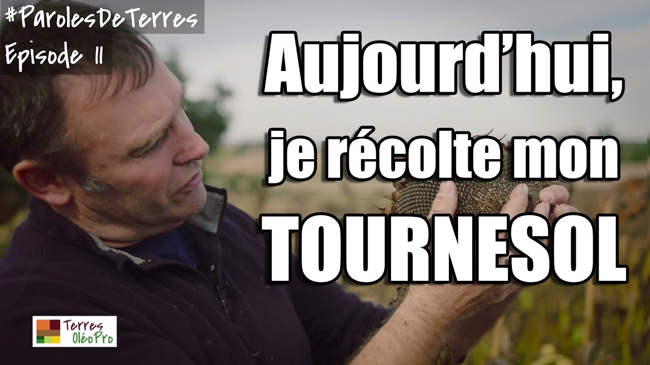La récolte du Tournesol
