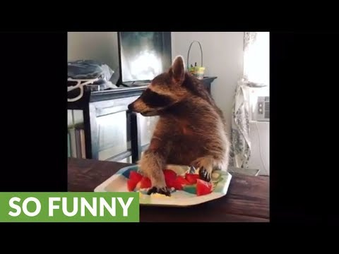 Compilation of pet raccoon's snack time