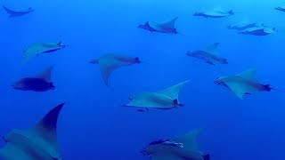 Swim with a school of Rays: See pup 'kicking' inside mother | Animals with Cameras | Earth Unplugged