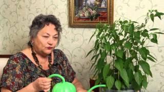 видео Как вырастить перец на подоконнике в квартире?