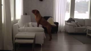 French Mastiff Barking