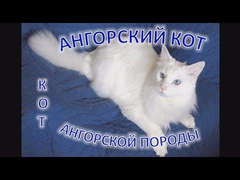 Ангорская порода кошек -