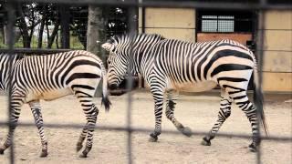 シマウマ親子のじゃれあい。夢見ヶ崎動物公園へ行ってきました http://g...