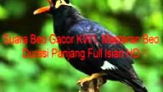 Suara Beo Gacor KW1, Masteran Beo Durasi Panjang Full Isian HD