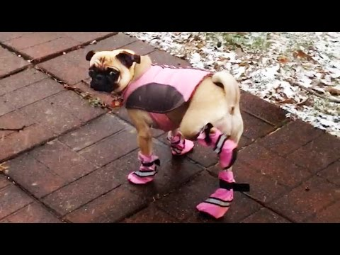 Dogs Try Booties For The 1st Time & It's Hilarious
