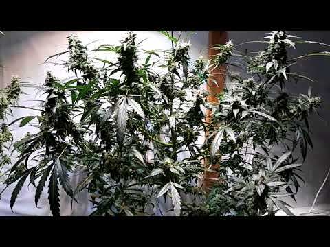 2 Huge Autoflowers – Defoliating Autos for fatter buds – Optic 4 Grow Series