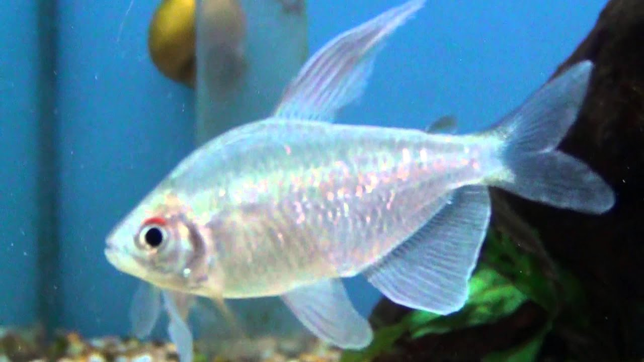 Diamond Tetra : XL Diamond Tetra (Moenkhausia pittieri) for sale at Tyne Valley ...