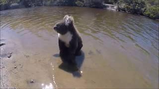 Koala SWIMS the Harriet River on Kangaroo Island, South Australia!