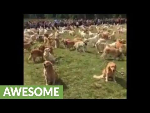 Massive gathering of Golden Retrievers breaks world record