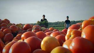 В Израиле вырастили томаты, которым не нужен полив - futuris