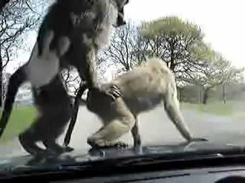 Khỉ phang nhau ngay trên đầu ô tô