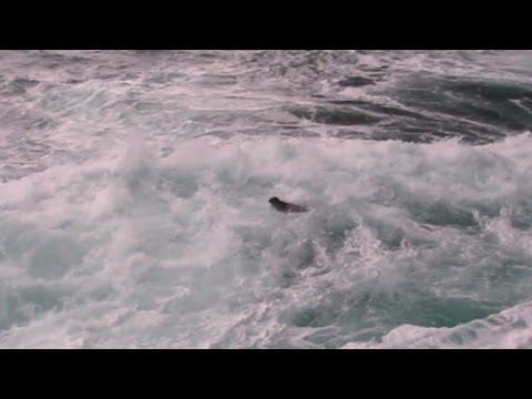 Sea Otter Oregon Coast
