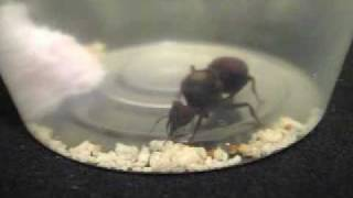 Leafcutter ants (Atta) - colony B development