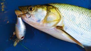 Рыбалка осенью на спиннинг Жерех на каждом забросе Попался бонус