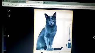 Порода Русской голубой кошки