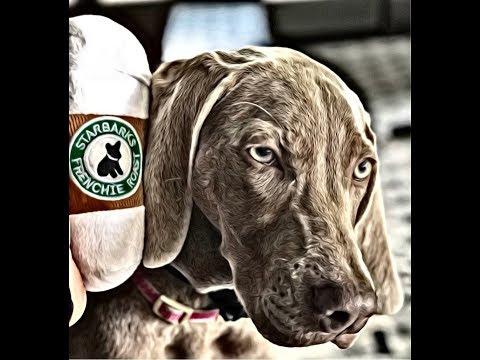 Montreal Dog Training - Weimaraner Puppy