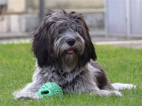 Dutch Schapendoes - (Nederlandse Schapendoes) Dog Breed