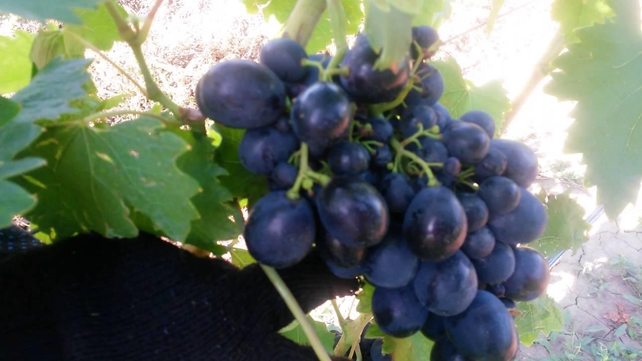 неприхотливые виноград ришелье описание сорта фото комнатного
