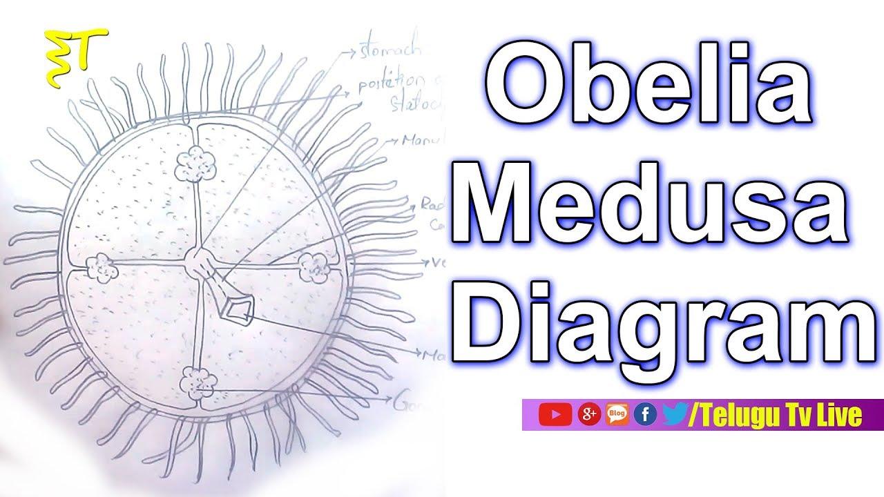 Obelia Medusa Diagram  Zoology  Diagrams