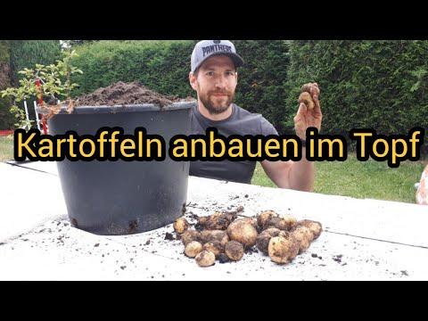 Kartoffeln Anbauen Topf Kartoffeln Im Topf Pflanzen Kartoffel Anbau Im Topf Kübel Gekeimte Kartoffel