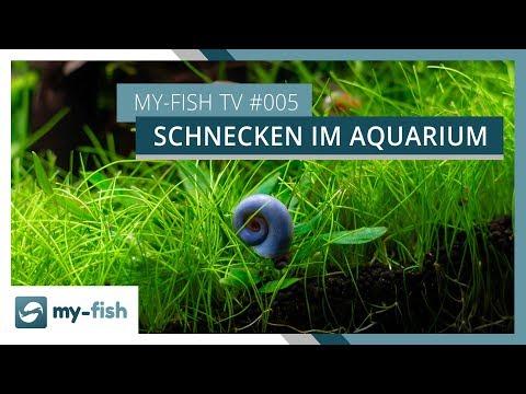 Schnecken im Aquarium | Nützlicher Reinigungstrupp für dein Becken | my-fish TV