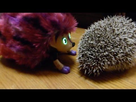 We got our hedgehog a girlfriend! (Zoomer Hedgiez)