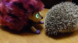 We got our hedgehog a girlfriend! (Zoomer Hedgiez)