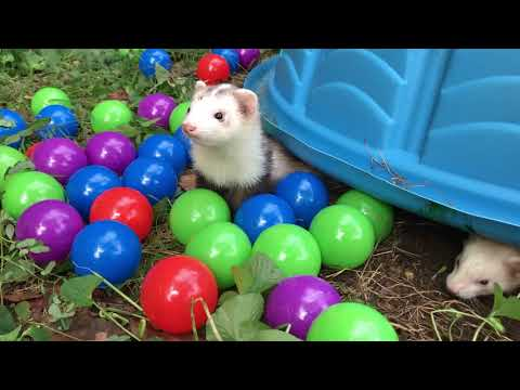 Raccoon and Ferrets Play in Ball Pit (1000 Ball Surprise!!!)