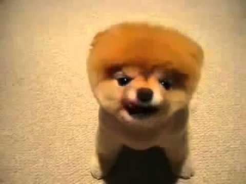 Самая смешная порода собак. Померанский шпиц.