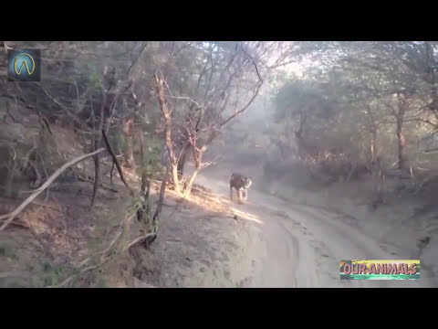 Download Top 5 Close Calls in a Wildlife Safari!