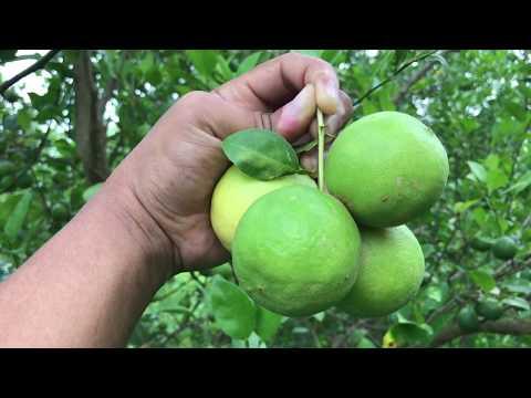 Organic Lemon Farm In My Village, Harvest Some Lemon Fruits