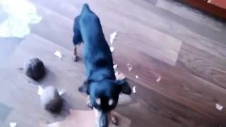 Той терьеры разгромили квартиру /  Toy Terriers defeated the apartment