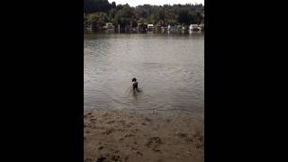 Miniature Poodle Swimming The Willamette