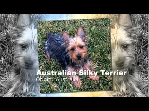 Australian Silky Terrier Dog Breed