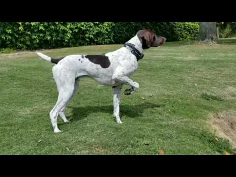 German Shorthaired Pointer – Baron – Pointing and Stalking a bird
